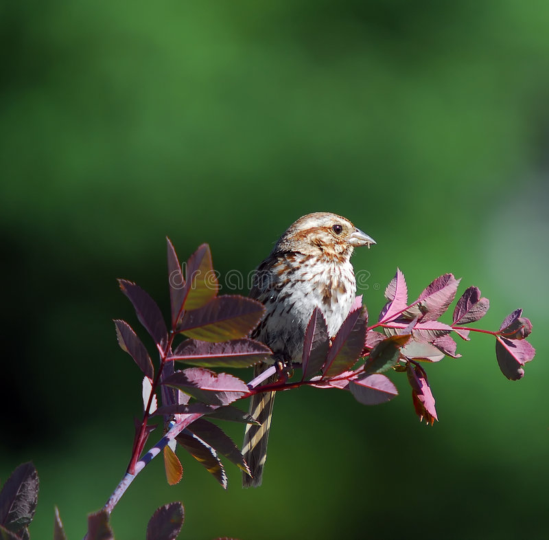 gå i flisor sparrow arkivbild