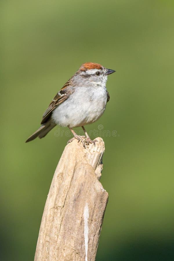 Gå i flisor Sparrow royaltyfri fotografi