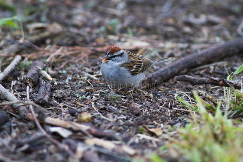 Gå i flisor Sparrow royaltyfri bild
