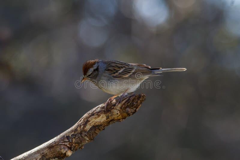 Gå i flisor Sparrow royaltyfria bilder