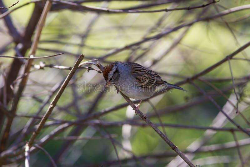 Gå i flisor Sparrow royaltyfria foton