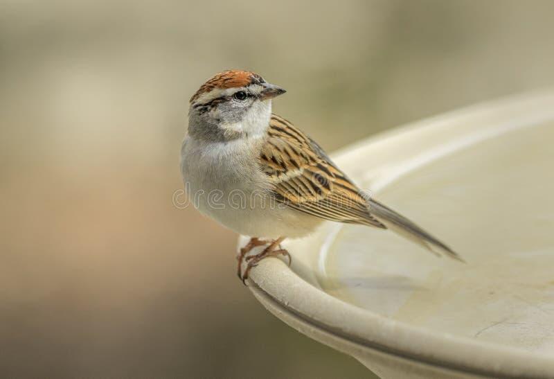 Gå i flisor Sparrow arkivbilder