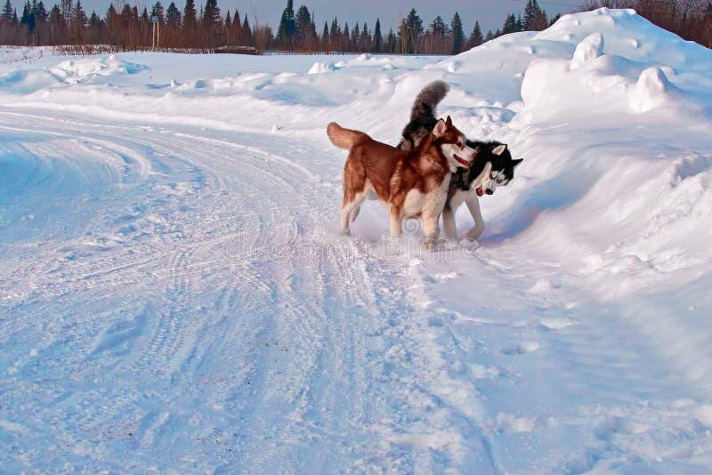 Gå med husdjur Siberian skrovligt spela på vinter går Skrovlig hundkapplöpningtugga och push i snö royaltyfri bild