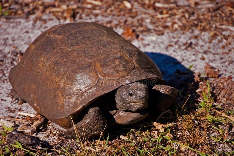 Gå sköldpaddan royaltyfria foton