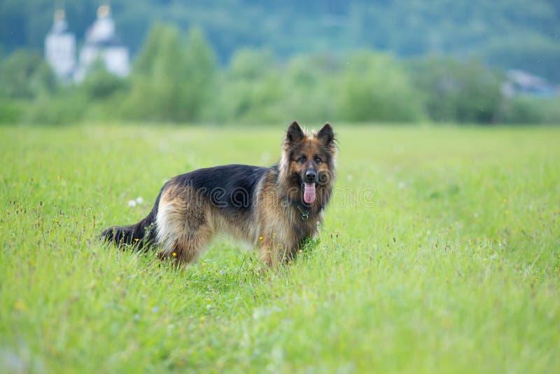 Gå ståenden för hund för tysk herde den långhåriga utomhus- arkivbilder