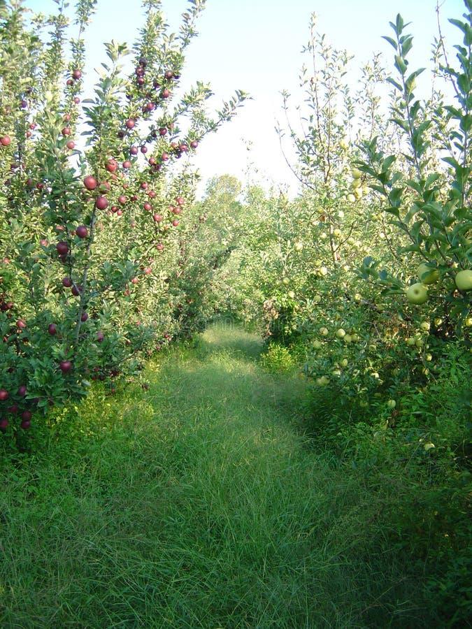 Gå till och med den Apple fruktträdgården royaltyfria bilder