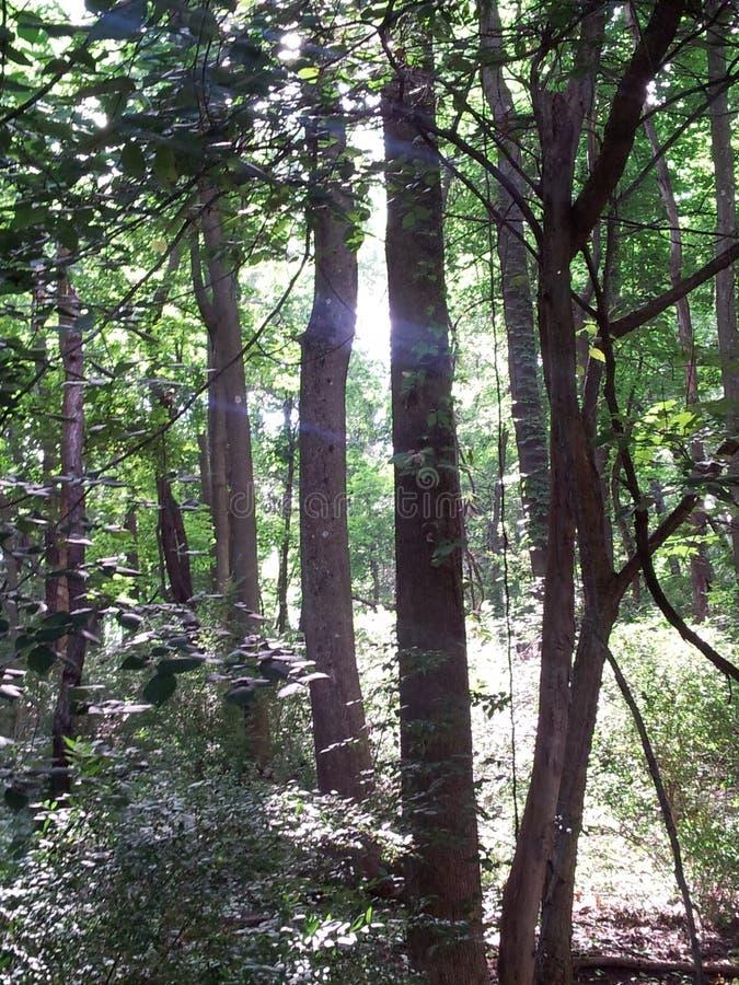 Gå till och med skogstrålarna av ljus som strömmar till och med träden på en perfekt dag för sommardag för en vandring royaltyfria foton