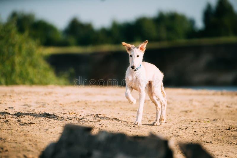 Gå valpen av ryska vinthunden som jagar Sighthound Russkaya P arkivfoto