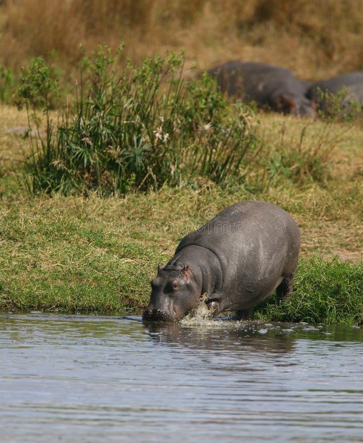gå vatten för flodhäst arkivfoto