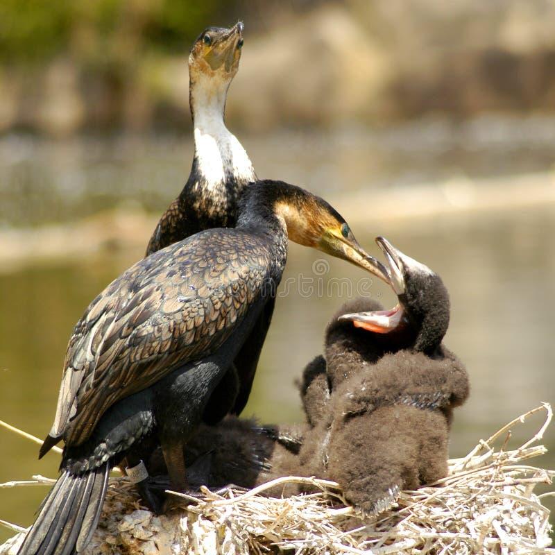 gådd mot cormorantwhite royaltyfria bilder
