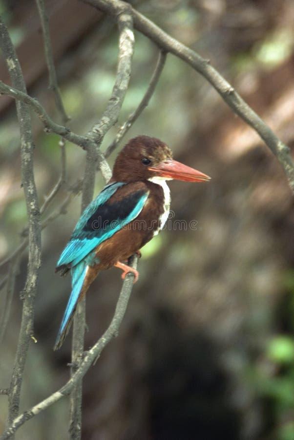 gådd mot kingfisherwhite arkivbilder