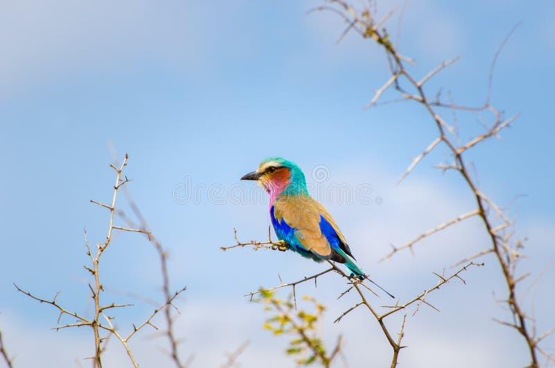 gådd mot lila rulle Kruger nationalpark, Sydafrika royaltyfria bilder