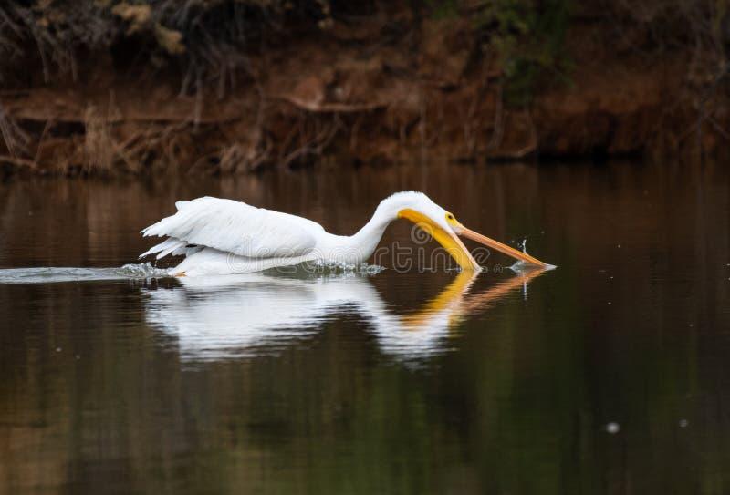 Gående fiska för vit pelikan i sjön royaltyfri fotografi