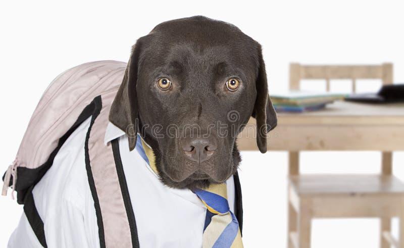 gående labrador för tillbaka choklad skola till royaltyfria foton