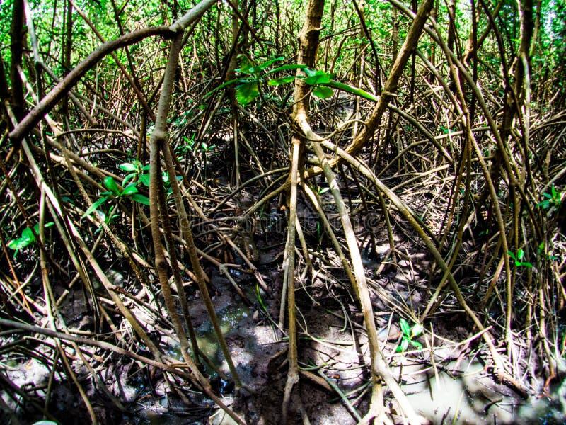 Gångbana: träbro i mangroveskog på Laem Phak Bia, Phetchaburi Thailand arkivfoto