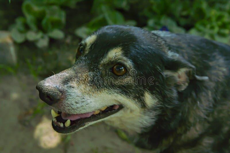 Gårdhund med den öppna munnen royaltyfri foto