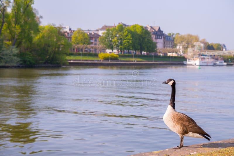 Gås på floden i staden royaltyfri fotografi