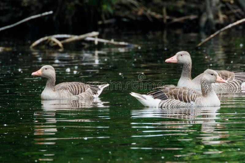 Gåssimning för tre graylag på en sjö i den sena eftermiddagen som fångas på en solig dag fotografering för bildbyråer