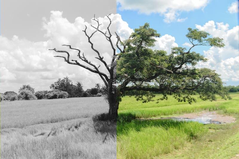 Gåtaträd som andra till hälften som är döda, och en annan vid liv halva fortfarande royaltyfri foto