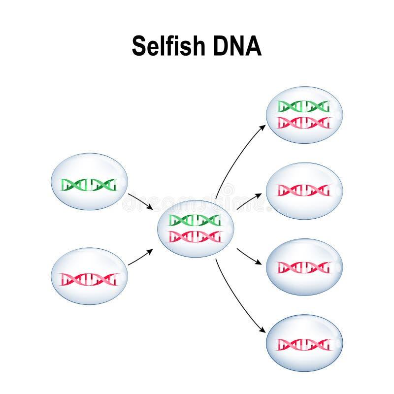 Gène égoïste Cellules avec de l'ADN normale et l'ADN égoïste illustration stock