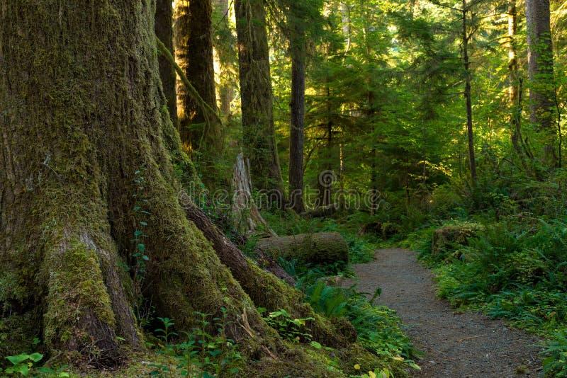 Géant de forêt tropicale photos stock