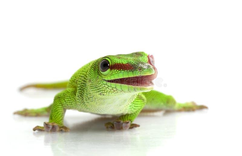 géant de gecko de jour images stock