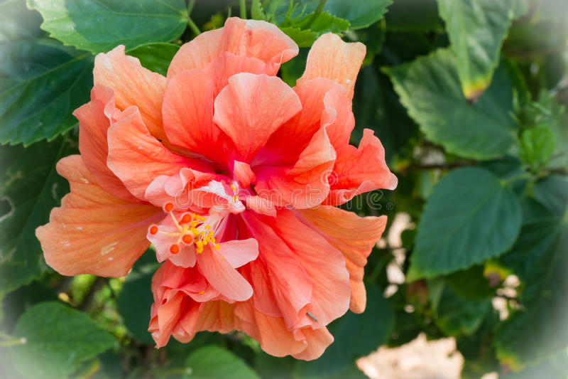 Géant et beau : fleur orange de ketmie, couleur de processus photo libre de droits