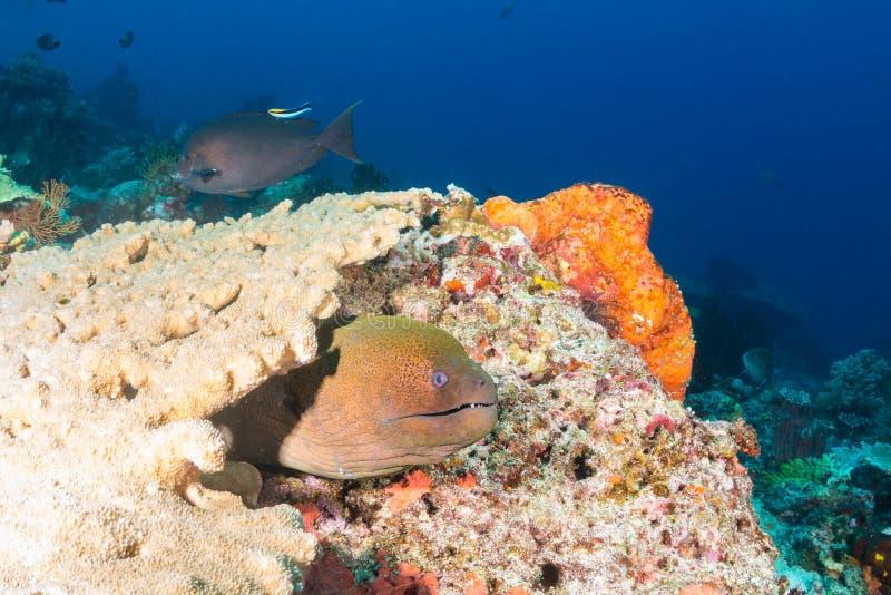 Géant Moray Eel sur un récif images stock