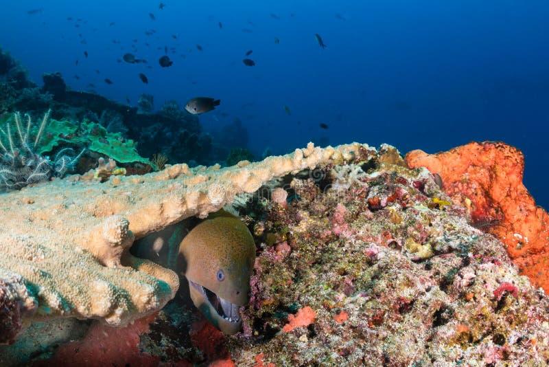 Géant Moray Eel sur un récif photos stock
