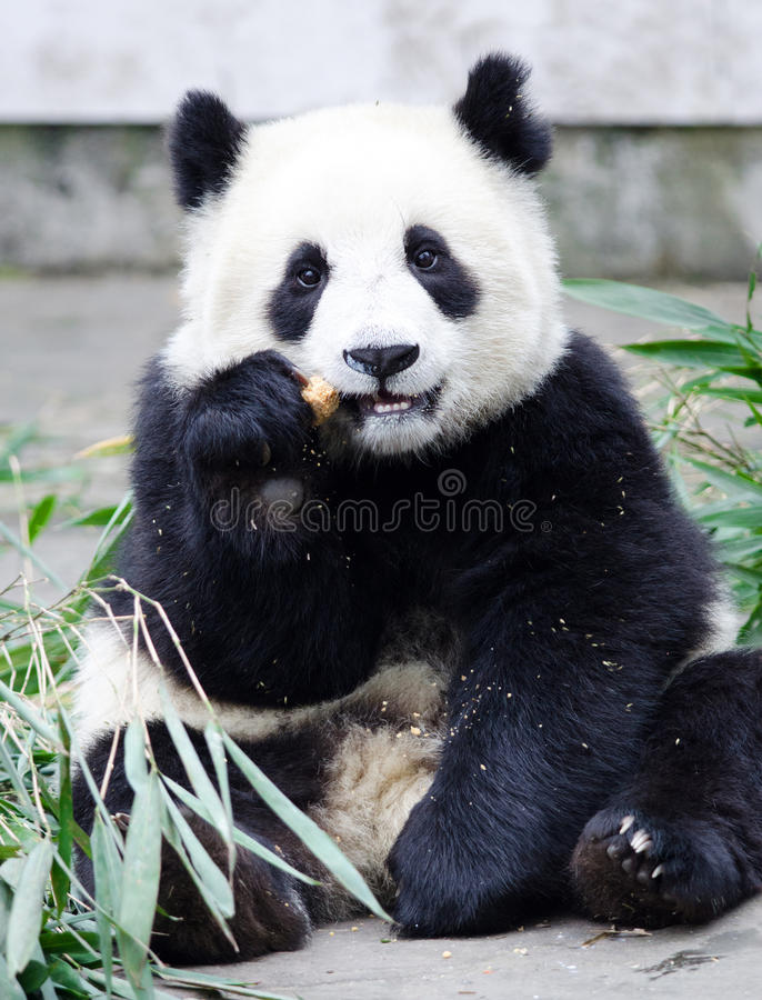 Géant Panda Cub Eating Cookie/gâteau, pose se reposante, Chine photographie stock