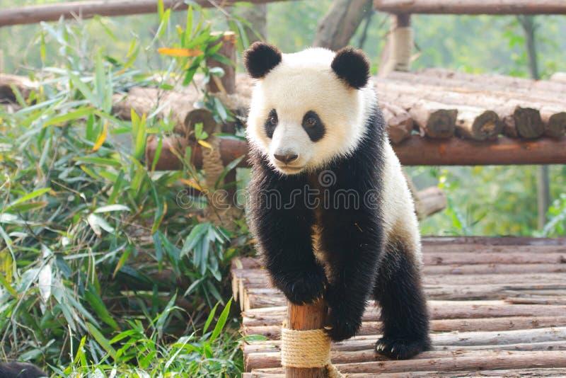 Géant Panda Curious Standing Pose, Chine image libre de droits
