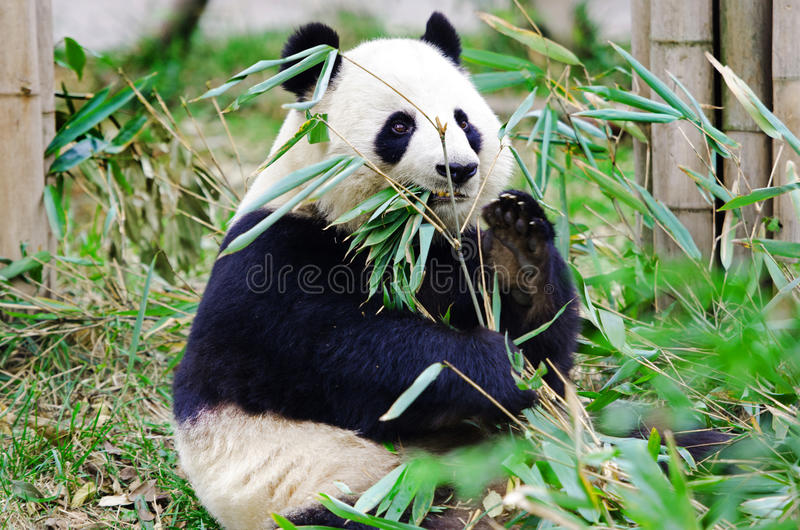 Géant Panda Eating Bamboo, Chengdu La Chine image libre de droits