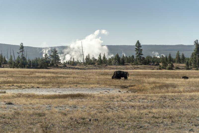 Géiseres y búfalo cerca del parque nacional de Yellowstone del río de Firehole fotografía de archivo libre de regalías