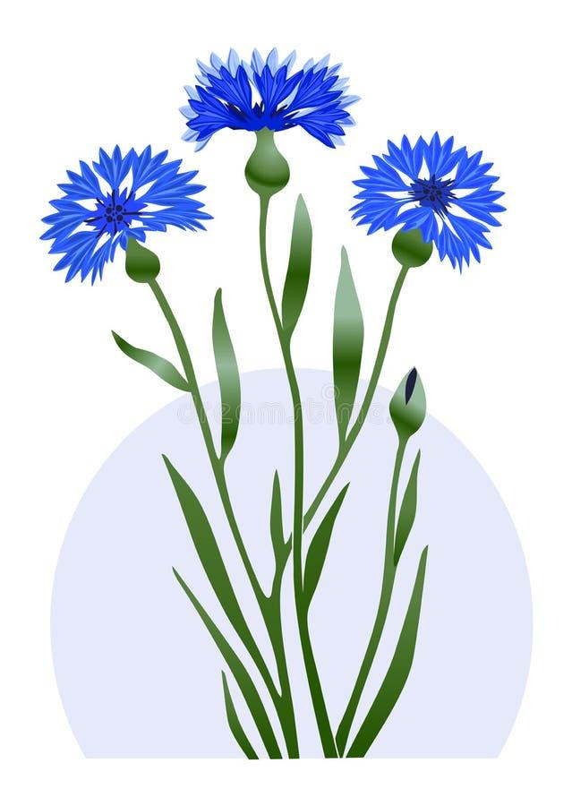 Género del aciano de la flor salvaje de las plantas herbáceas de la familia Astrovye imagen de archivo libre de regalías