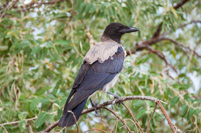 Género encapuchado cornix del cuervo del Corvus que se sienta en la rama de un árbol fotos de archivo libres de regalías