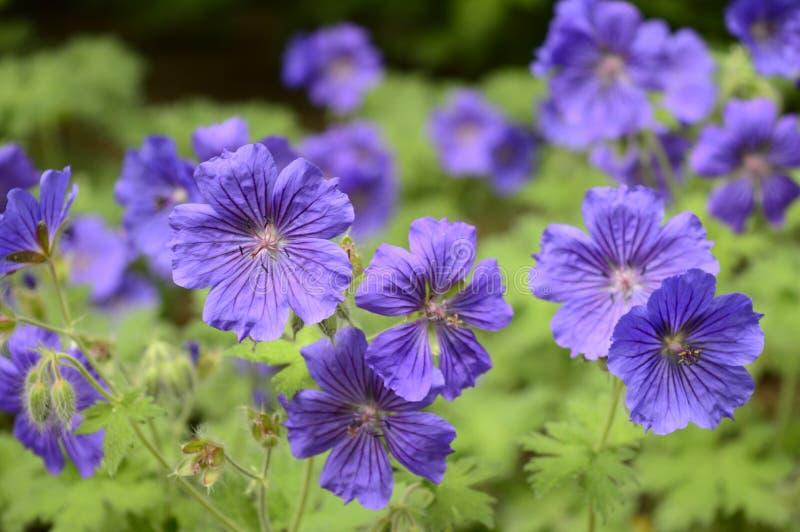 Géranium délicieux dans le jardin du printemps et de l'été image stock