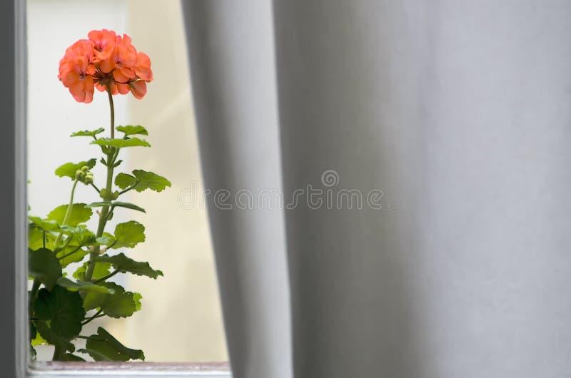 Géranium dans la fenêtre images stock