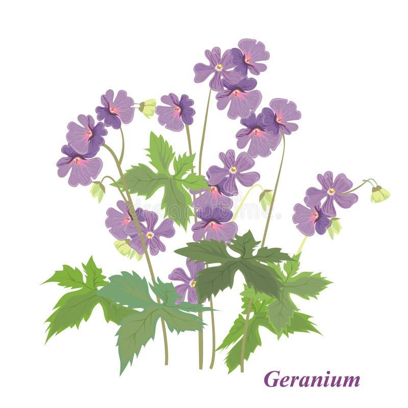 Géranium de Bush illustration stock