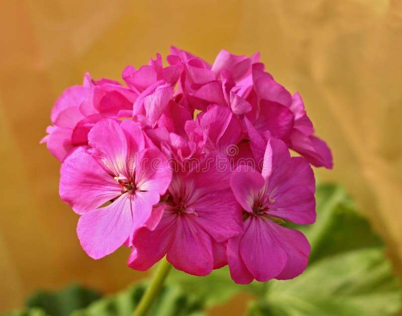 Géranium rose image libre de droits