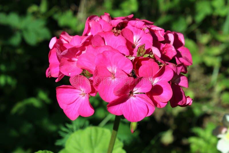 Géranium rose photographie stock libre de droits
