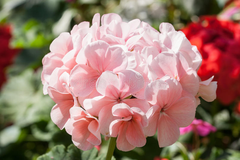 Géranium rose photos libres de droits