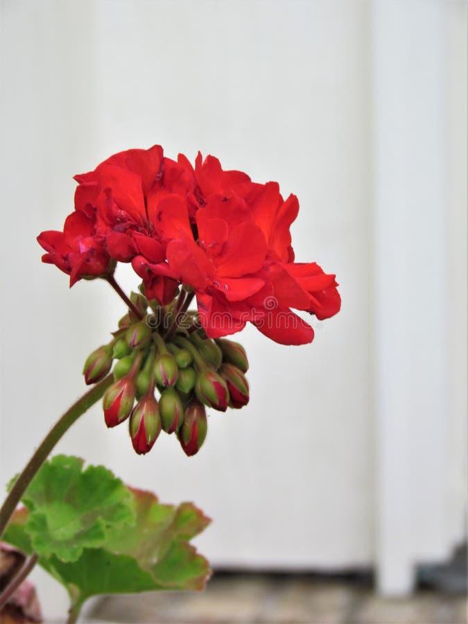 Géranium rouge photos stock
