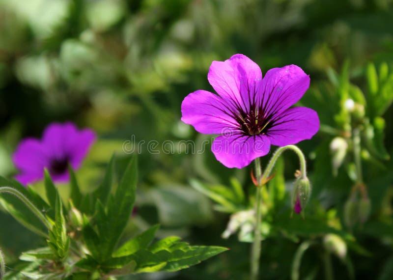 Géranium, sauvage, nom Patricia photo libre de droits