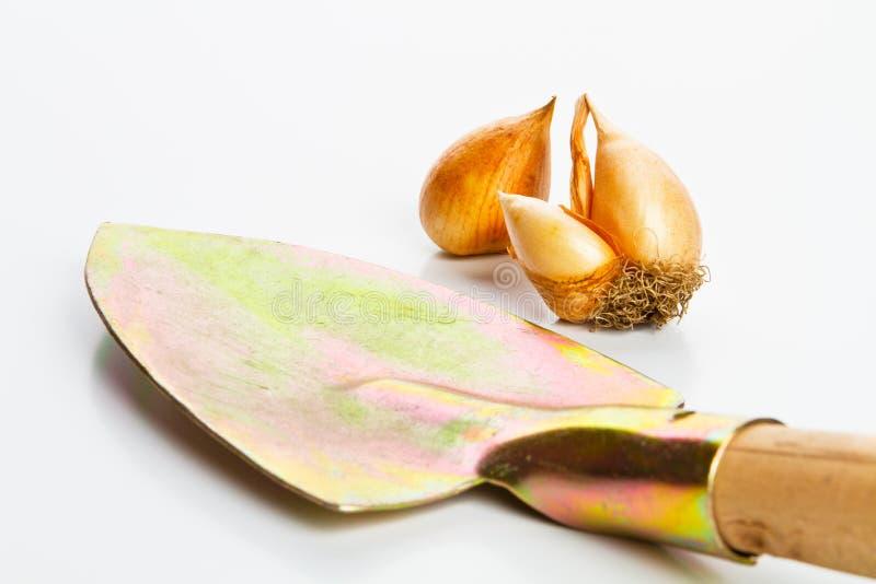 Gérmenes del tulipán para la planta fotos de archivo