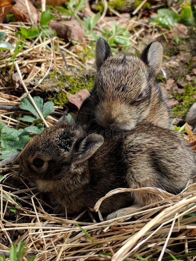 Gêmeos, coelhos do bebê fotos de stock