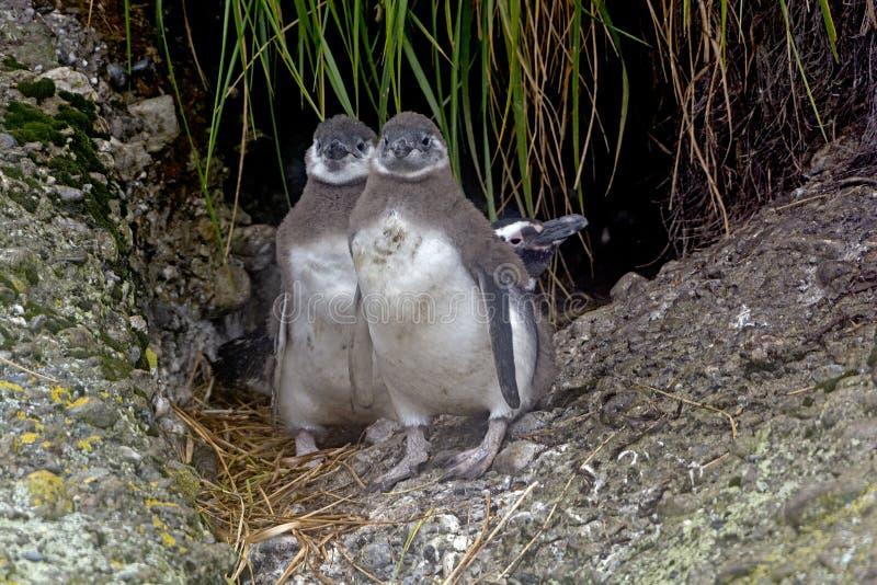 Gêmeos do pinguim de Magellanic do bebê fora de seu ninho foto de stock