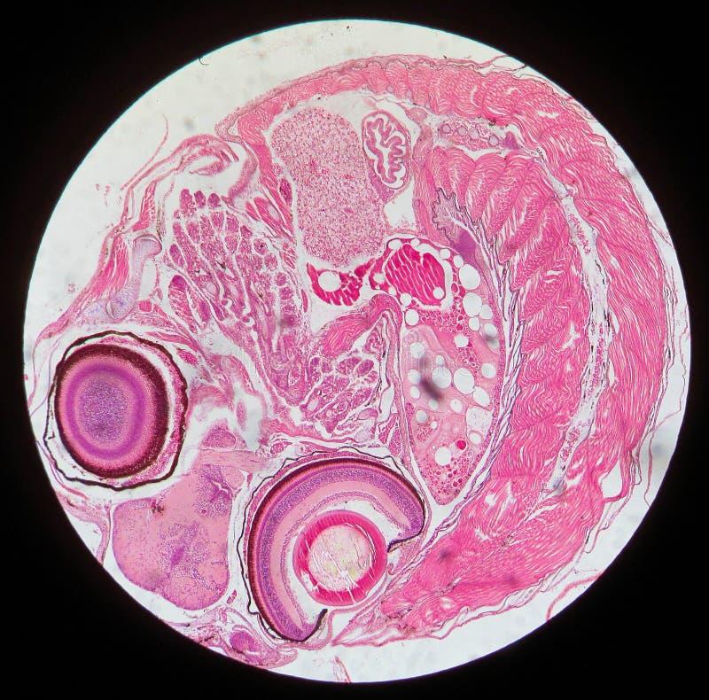 A gónada e o embrião imagens de stock royalty free