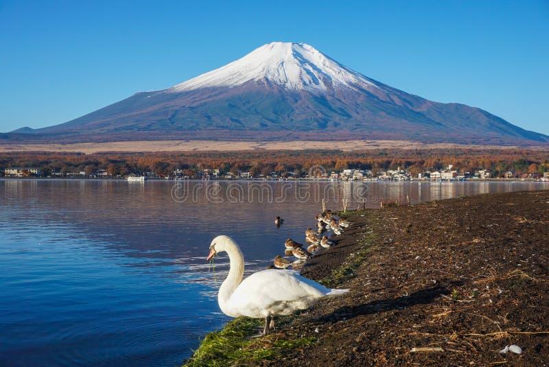 Góra Fuji Z łabędź i cyraneczki wodą bawić się w ranku Jeziornym Yamanaka w Japan zdjęcie royalty free