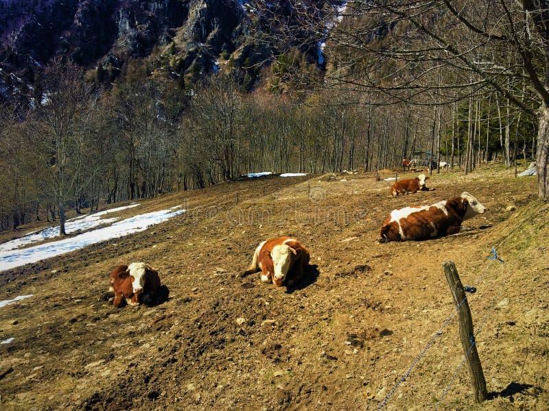 Góra, krowy i śnieg, obrazy stock