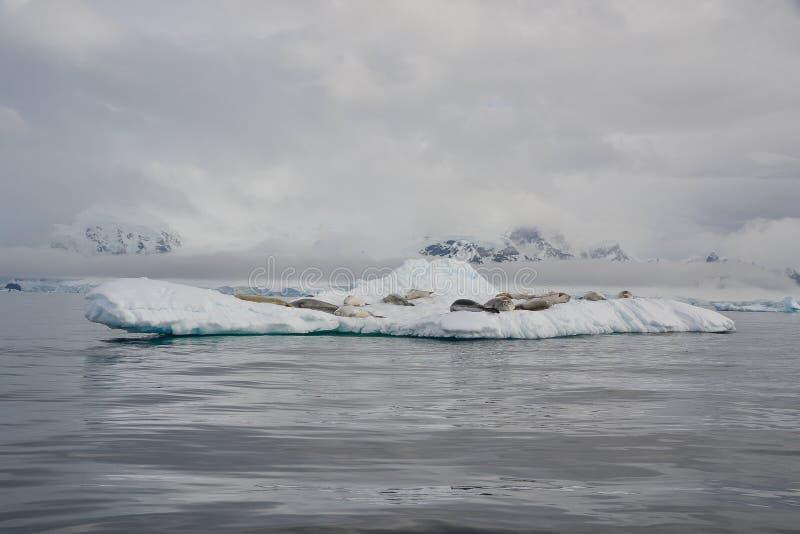 Góra lodowa odwrót dla fok fotografia stock